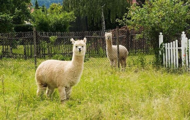 Lama- und Alpakatrekking
